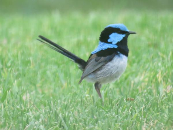 Beautiful Superb Blue Fairy Wrens love living at Lush Pastures