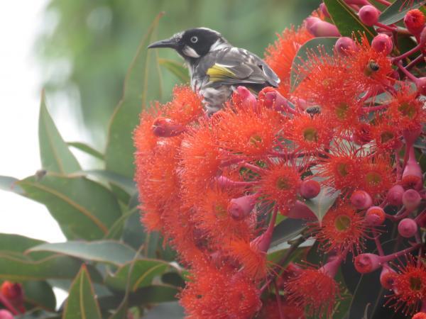 Honey eaters enjoy the flowering eucalypts